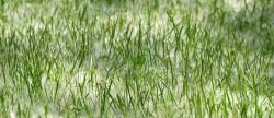Grass Pollen Allergy